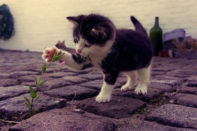 blomkatt