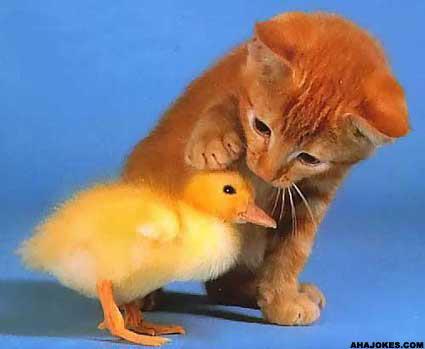 kyckling katt